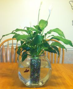 Peace lily plant/ betta fish :) My mom makes these all the time but she leaves the roots free for Beta to eat !