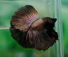 Sailfin copper