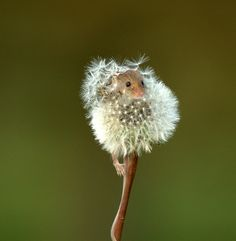 Mouse hiding out in a dandelion… photo by HighlandTiger84