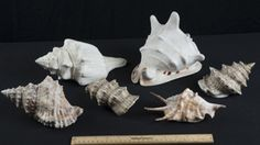 CONCH SHELLS IN SEVERAL DIFFERENT SIZES AND COLORS
