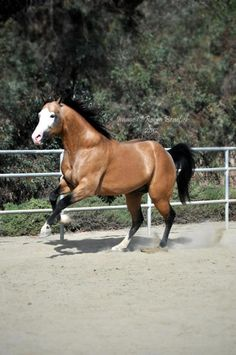 American Paint Horse stallion I Rock Your Socks ~ APHA