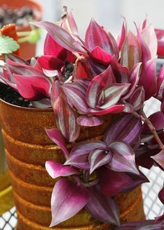 Tradescantia zebrina | Wandering Jew care & info | Houseplant Central