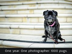 One year. One photographer.1000 Pugs