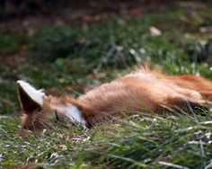 """When I was a kid there were a den of foxes that lived behind the house.    """"Feeling Tired"""" by c ballard photography"""