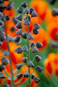 Fritillaria persica in front of orange tulips Photo Colour, Color, Tulips, Beautiful Flowers, Orange, Blossoms, Plants, Photos, Planting Flowers