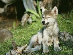 Wolf pup, during snarl practice