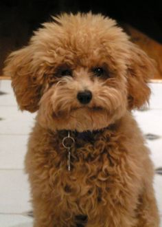Lulu is part of our family. Apricot toy Poodle w/ a puppy cut. ... Love this haircut, love this color!