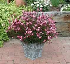 Gaura, an easy to grow perennial that flowers from spring into fall. Learn more here: http://www.gardeningknowhow.com/…/…/growing-guara-plants.htm
