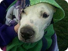New York, NY - Pit Bull Terrier/Labrador Retriever Mix. Meet Ronald, a dog for adoption. http://www.adoptapet.com/pet/15018780-new-york-new-york-pit-bull-terrier-mix