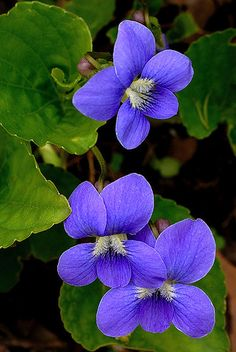 Blue Violets Viola Sororia is a perennial flowering ground cover that has a distinctive blue rounded star-shaped petals and semi-circular leaves on the plant. Flowers In Hair, Purple Flowers, Wild Flowers, Flowers Perennials, Planting Flowers, Flowers Garden, Violet Tattoo, Sweet Violets, Flower Pictures