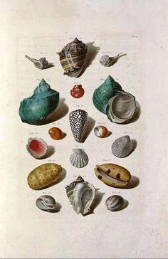 conchology seashells