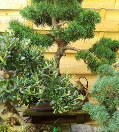 Un pequeño #petirrojo entre los #bonsais  en el jardín de #Bonsaikido. www.bonsaikido.com