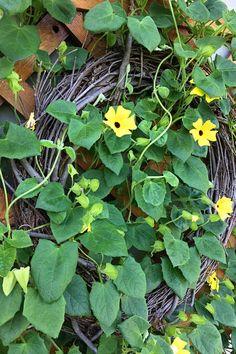 Black-eyed susan vine on a wreath House Plants, Plants, Garden, Beautiful Flowers, Outdoor Gardens, Black Eyed Susan Vine, Flowers, Garden Vines, Flowering Vines
