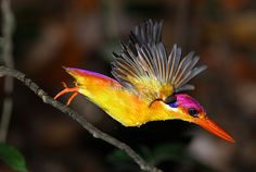 birds of a feather - black-backed kingfisher taking a bath (photo by...
