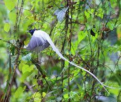Asian Paradise-flycatcher, Sinharaja Rain Forest, Sabaragamuwa Province, Sri Lanka