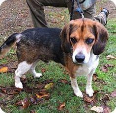 Silverdale, WA - Beagle Mix. Meet Angus, a dog for adoption. http://www.adoptapet.com/pet/16928422-silverdale-washington-beagle-mix
