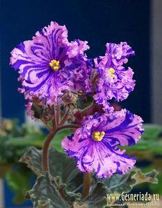 African Violet - Saintpaulia '' RS-Zabiyaka ''  young plant