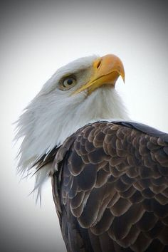 Eagle portrait by Adrienne May 白頭鷲 Bald Headed Eagle, Beautiful Birds, Animals Beautiful, Bold Eagle, Nature Artists, Cecile, Animal Totems, Thing 1, Birds Of Prey