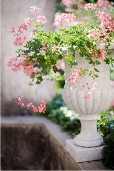 Scented geraniums in white urn Container Gardening, Flowers, Garden Urns, Pink Geranium, Garden Design, Pink Garden, Container Garden Design, Flower Arrangements, Ivy Geraniums