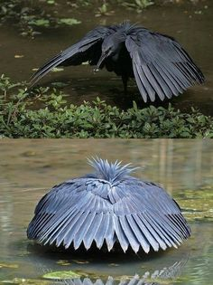 The Black Heron shades water with wings to see prey better !! wOw