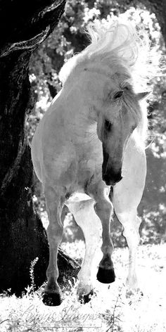 Stallion Leaping is a Lusitano stallion in Portugal showing off for his mares  By Carol Walker  www.LivingImagesCJW.com