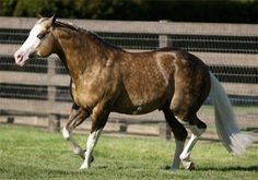 Big Chex to Cash - Quarter Horse,  Show Horse Gallery, A Different Horse is Featured Every Day