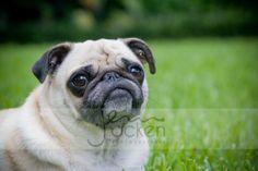 #JOP #JennOcken #Portrait #Photography #Dog #Pug #Pets