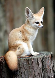 Oh....My....Gosh....SO CUTE! (Fennec Fox-they live in the desert, big ears let off heat, they have fur on the bottoms of their feet to protect from scorching sand)