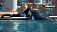 Dawn Brancheau and Tilikum, then the 2010 tragedy took place when Tilikum pulled her into the tank where Dawn died of violent trauma and drowning. If Tilikum were still with his family, Dawn would be too! Captivity is wrong!