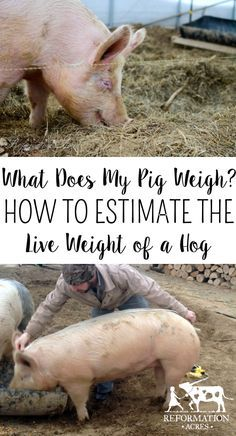 Want to know how much does a pig weight? You can figure how much a pig weighs with a tape measure, calculator, and formula to estimate a live hog weight. Livestock Judging, Showing Livestock, Hog Farm, Animal Slaughter, Pig Showing, Raising Farm Animals, Pig Pen, Teacup Pigs, Show Cattle