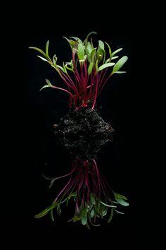 Microfolhas de beterraba. Veja mais na matéria completa da Hashitag. Oriental, Plants, Sprouts, Gastronomia, Food Items, Planters, Plant, Planting, Planets