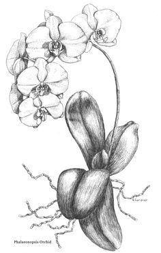 botanical drawings of orchids -