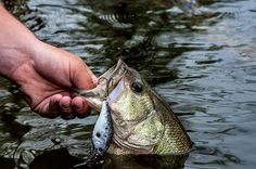 5 Shallow Bass Fishing Crankbait Colors You Need t