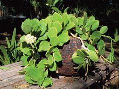 Hoya pachyclada - Wax Plant