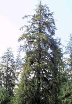 Alaska State Tree: Sitka Spruce