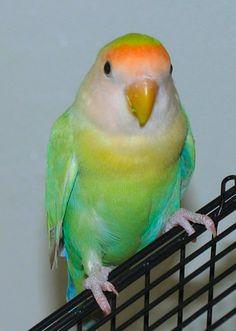 Benji, lovebird
