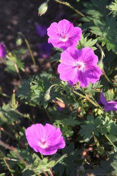 Geranium sanguineum 'Hannelore' is een ooievaarsbek met een heldere roze bloem. Hoogte: 20-30 cm. Bloei vanaf juni tot november. Beschrijving: www.schetsservice.nl. Foto gemaakt op Kwekerij de Hessenhof