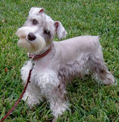 To Crop or Not My Schnauzer's Ears? | Texas T's Toy Schnauzer's Blog