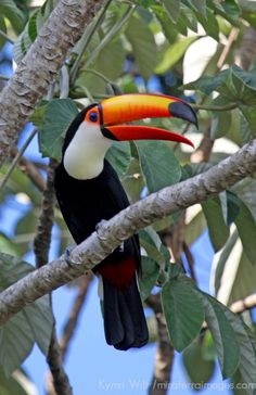 A Toco Toucan overlooks the Aquidauana River of the Pantanal. Toco Toucan, South America, Habitats, Exotic, Travel Photography, Birds, Bustle, Delaware, Gallery
