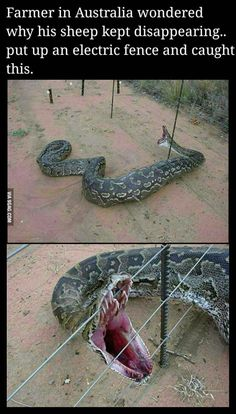 Nature Reserve at North West Province of South Africa, Rock Python caught in an electrical fence.