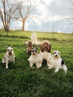 My Life, My Love, My Dogs All 6 together, from l-r: Shasta Daisy, Quinna, Irie Caboose, Zhen, AdoraBelle, Keebler