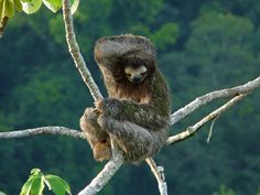 Bradipo - Three-toed sloth