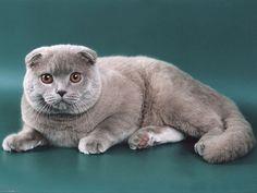 Фурминатор для кошек: Незаменимый гаджет для груминга и домашнего ухода Смотри больше http://kot-pes.com/furminator-dlya-koshek/