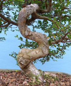 Chinese Elm Top Quality Bonsai Tree @KaizenBonsai