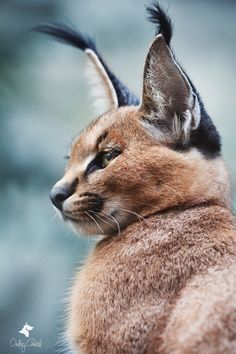 Karakal (Caracal caracal) - Young caracal watched by his brother
