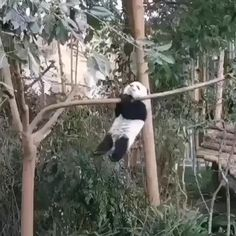 Who doesn't know this cute large animals ? It's a Panda and everybody adore this sweet funny creature. Panda which in Chinese meaning Big Bear Cat is a bear with white and black patches around Cute Funny Animals, Cute Baby Animals, Animals And Pets, Nature Animals, Panda Gif, Panda Bear, Panda Love, Cute Panda, Photo Panda