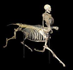 """The Centaur of Tymfi"". Centaur skeleton prepared and articulated by Skulls Unlimited International"