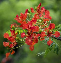 Flame of the Forest (Delonix regia).