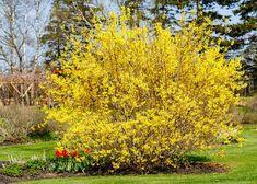 Jakmile se zlatice obalí žlutými květy, můžete zastřihnout růže Shrubs For Privacy, Shrubs For Landscaping, Yellow Flowering Shrub, Flowering Shrubs, Bonsai, Forsythia Bush, Spring Perennials, Shade Loving Shrubs, Plants Under Trees