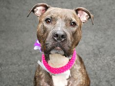 Manhattan Center SHIRLEY – A1034175 FEMALE, Y BRINDLE / WHITE, AM PIT BULL TER MIX, 1 yr STRAY – EVALUATE, NO HOLD Reason STRAY Intake condition EXAM REQ Intake Date 04/24/2015